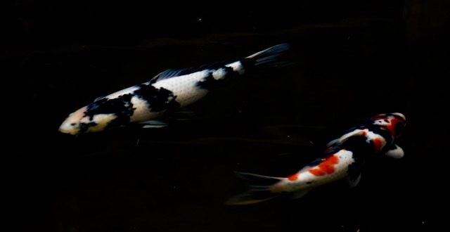 Two Koi photography by Barb Tillman